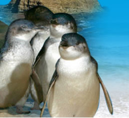 Phillip Island Penguin Parade - Tourism Bookings WA