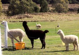 Maydena Country Cabins Accommodation  Alpaca Stud - Tourism Bookings WA