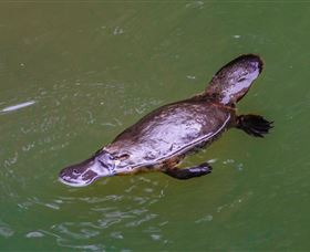 Platypus Viewing at Broken River