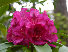 Campbell Rhododendron Gardens
