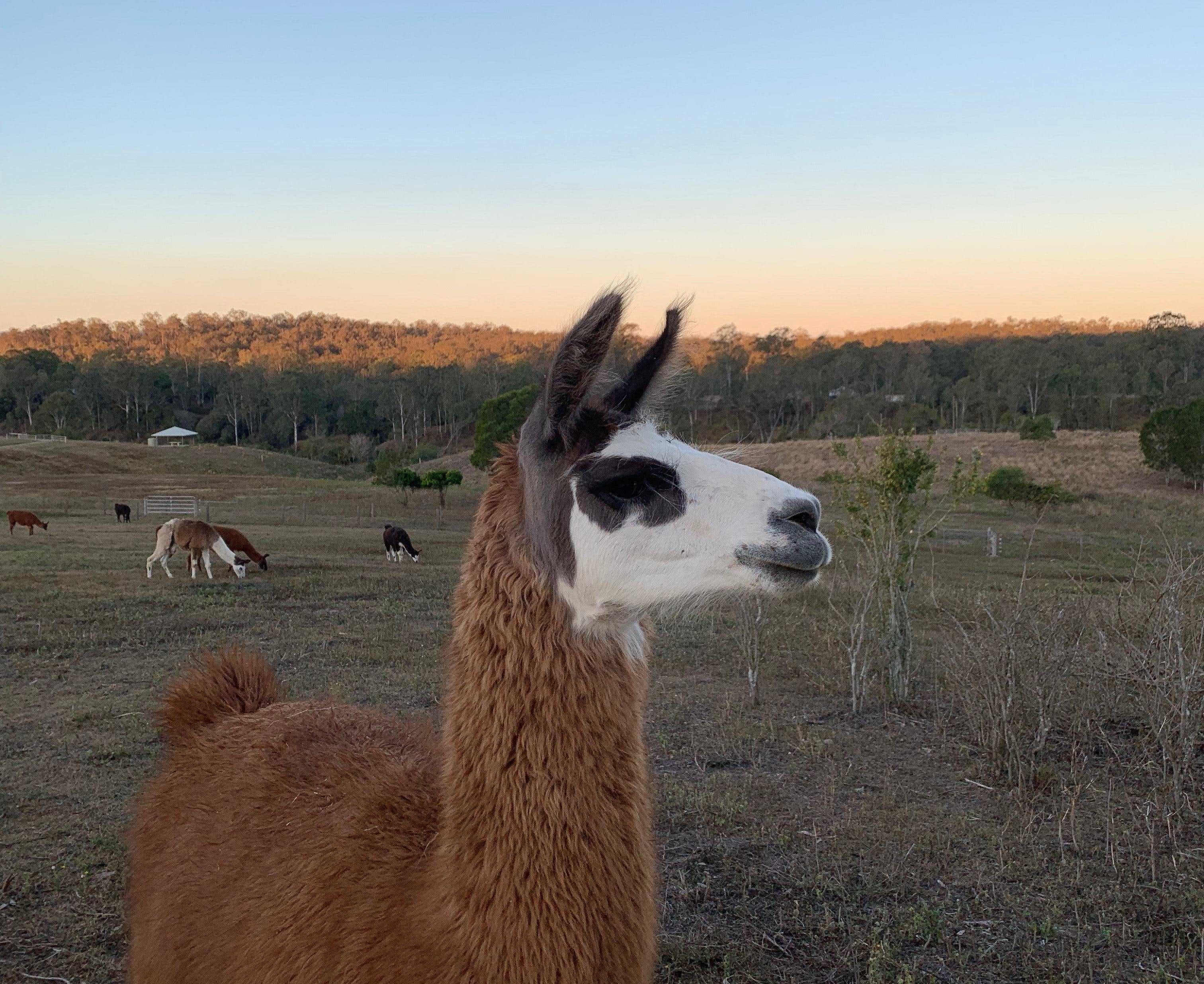 The Llama Farm - Tourism Bookings WA