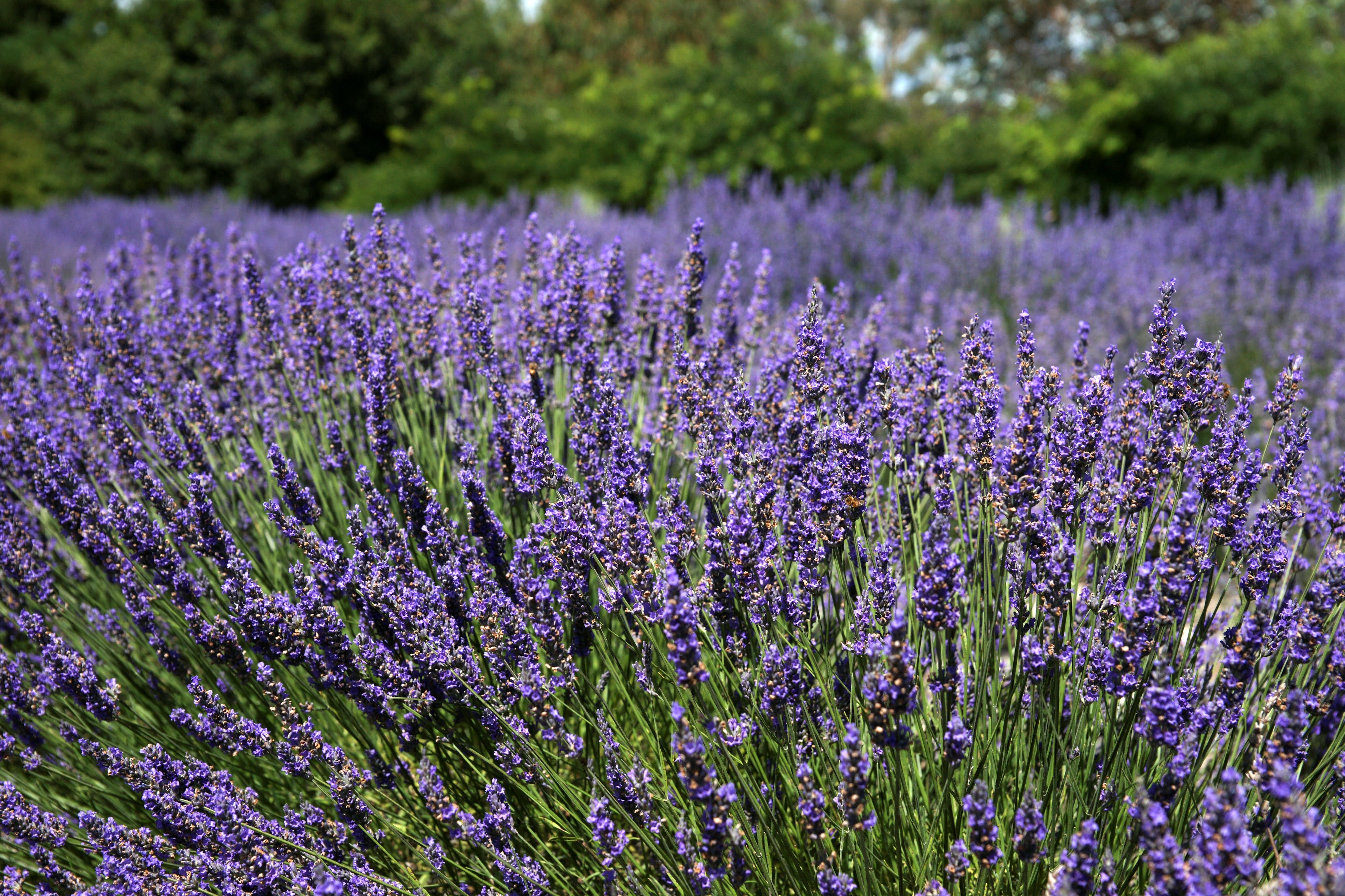 Lavender Herb and Chilli Festival - Tourism Bookings WA